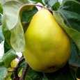Pomi fructiferi Gutui