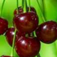 Pomi fructiferi Visin
